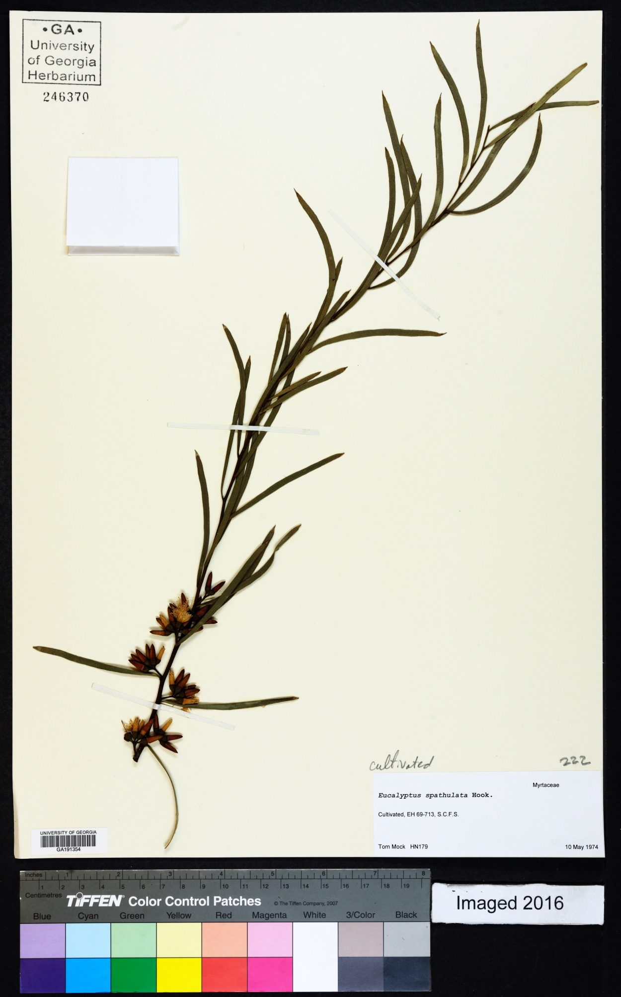 Eucalyptus spathulata image