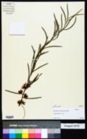Image of Eucalyptus spathulata