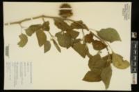 Datura inoxia image
