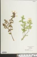 Image of Abelia chinensis