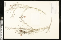 Image of Agalinis obtusifolia