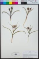 Image of Fritillaria falcata