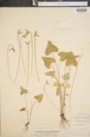 Viola brittoniana var. pectinata image