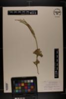 Image of Lycopodium x habereri