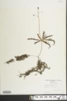 Image of Utricularia inflata