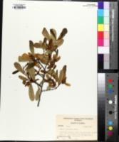 Image of Asimina grandiflora