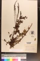 Image of Amorpha cyanostachya