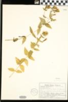 Image of Gentiana quinqueflora