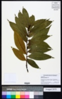 Image of Quercus crispifolia