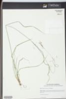Rhynchospora decurrens image