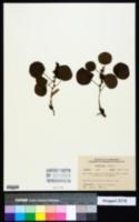 Eriosema simplicifolium image
