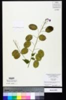 Lunaria annua image