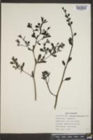 Baptisia vespertina image