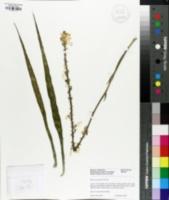 Image of Sansevieria parva