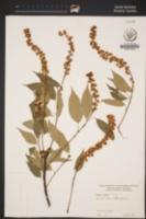 Prunus capuli image