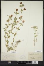 Trifolium aureum image