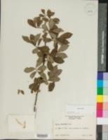 Salix cinerea image