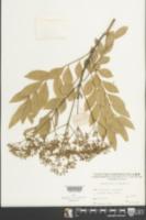 Image of Zanthoxylum avicennae