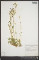 Silene lemmonii image