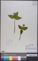 Image of Trillium persistens