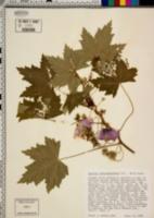 Lavatera assurgentiflora image