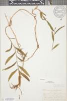 Image of Potamogeton acutifolius