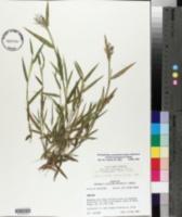 Dichanthelium acuminatum subsp. lindheimeri image