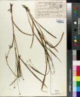 Image of Callisia rosea