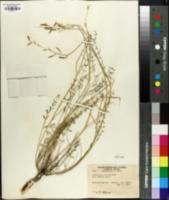 Astragalus arrectus image