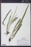 Lindsaea stricta image