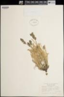Image of Oxytropis albiflora