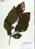 Alnus serrulata image