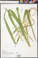 Iris hexagona image