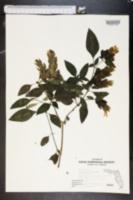 Beloperone guttata image