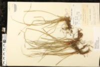 Image of Carex acidicola