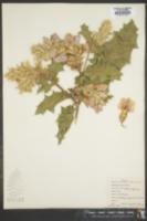 Image of Acanthus pubescens