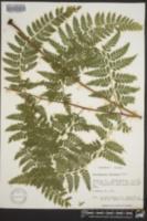 Dennstaedtia bipinnata image