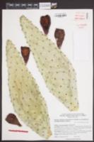 Opuntia engelmannii var. linguiformis image