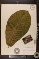 Image of Magnolia rostrata