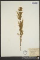 Image of Artemisia longifolia