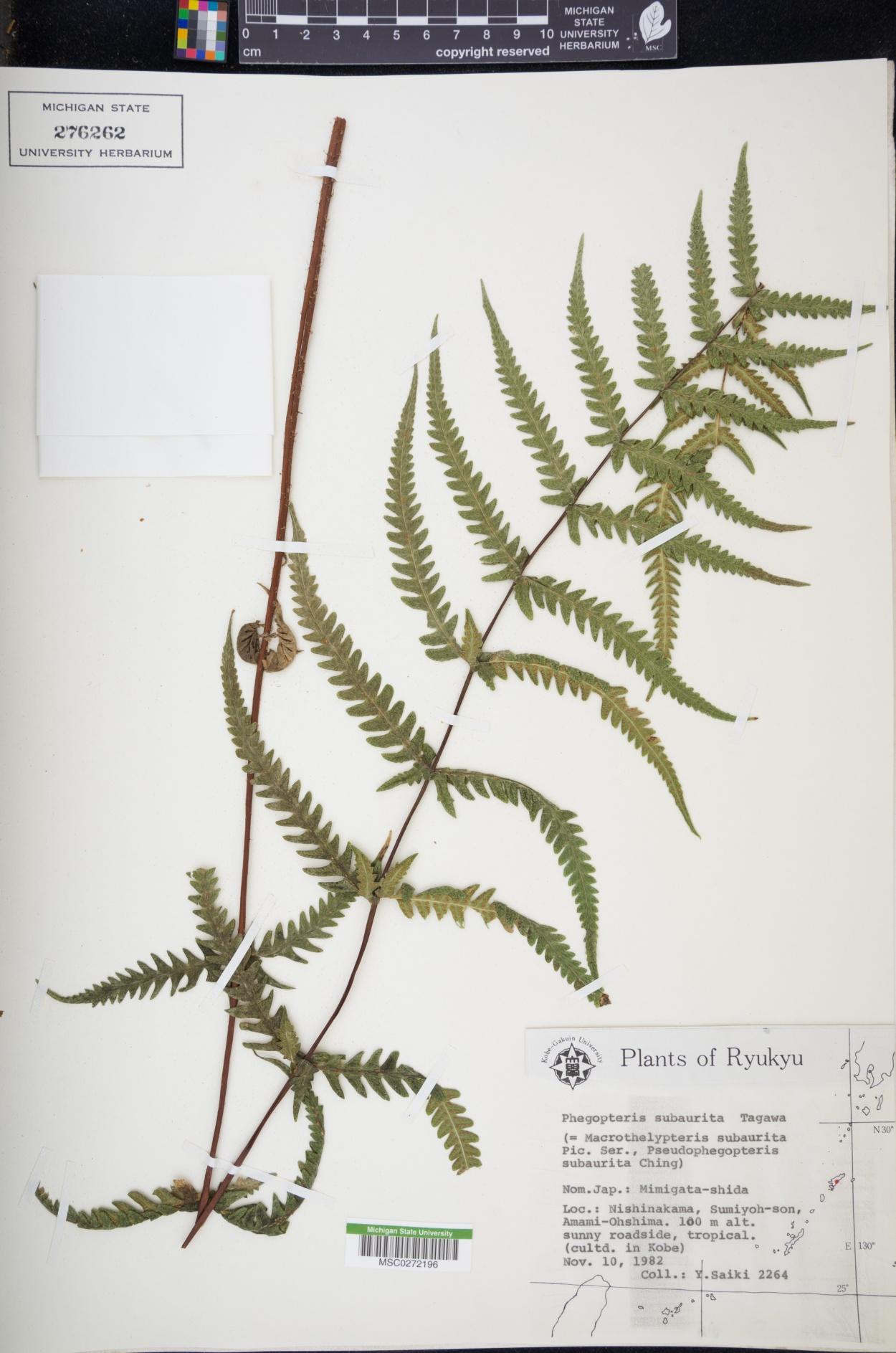 Phegopteris subaurita image