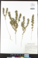 Calycadenia spicata image
