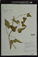 Dioscorea quaternata image