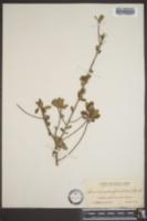 Bourreria cassinifolia image