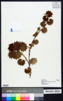 Image of Alchemilla hagenia