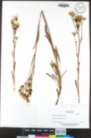Packera layneae image
