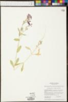 Phlox paniculata image