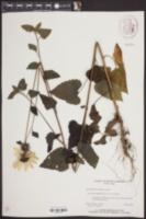 Helianthus debilis subsp. cucumerifolius image