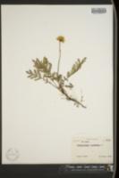 Image of Tanacetum bipinnatum