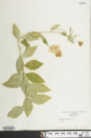 Campanula carpatica image